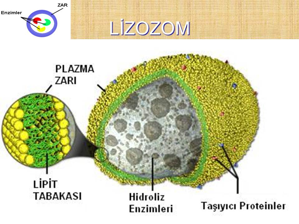 plant membrane and vacuolar transporters 2008